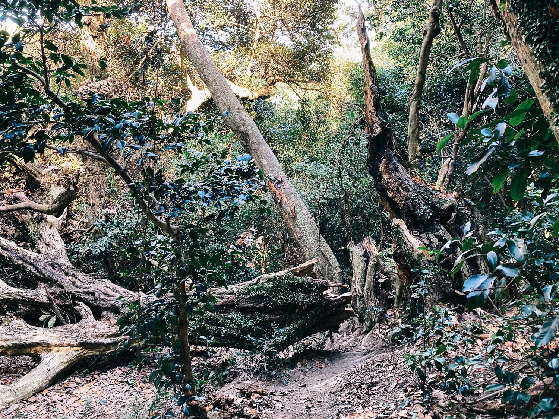 高祖山山頂直下の倒木